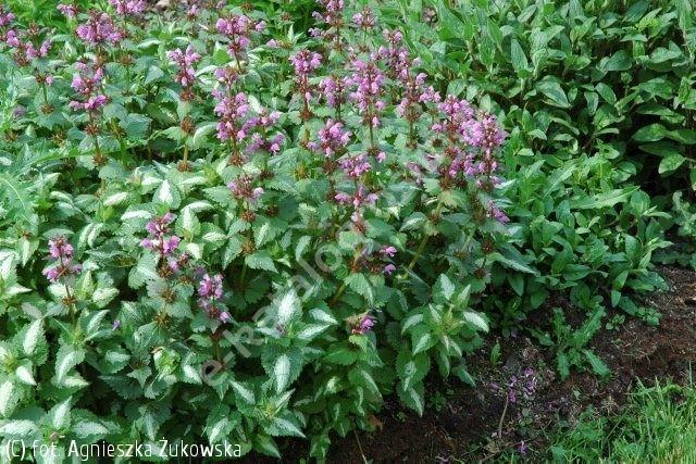 Jasnota Plamista Roseum Lamium Maculatum Roseum Plants