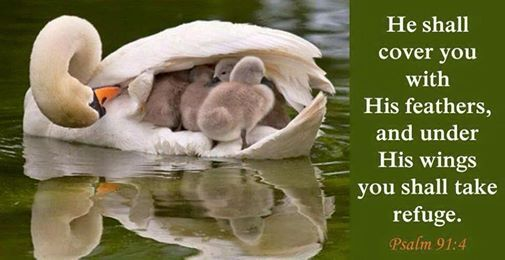 He will cover you with his pinions, and under his wings you will find refuge; his faithfulness is a shield and buckler.  Psalms 91:4