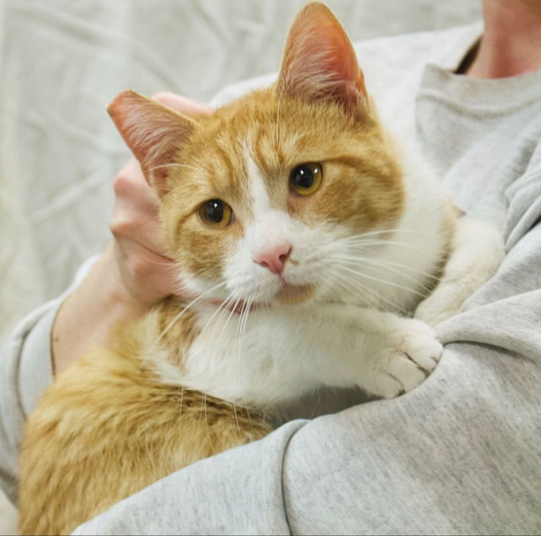 2 Year Old Cinnamon S Head Butts Have Yielded A 10 10 Result For Extra Scritches He S Kitty And People Friendly And Is At Alive Rescue In In 2020 Cute Cats Cats Kitty