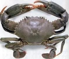 Scylla Serrata And Scylla Tranquebarica Are Edible Species Of Crab Types The Common Name For Mud Crab Or Green Crab Is Scylla Serrata Crab Crab Species Prawn,How To Make Candles