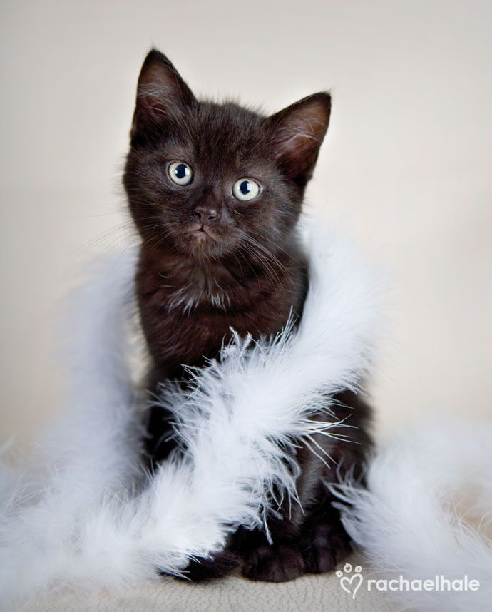 Midnight (Domestic Shorthaired) - A kitten's love is as soft as a feather