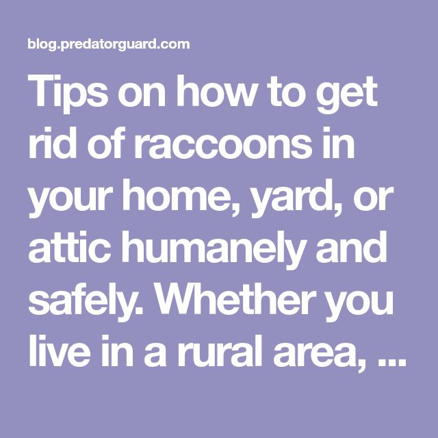 How To Get Rid of Raccoons | Getting rid of raccoons, How ...