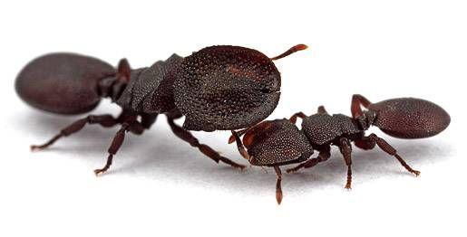 タートルアント 働きアリ 蓋アリ 蟻 虫 動物