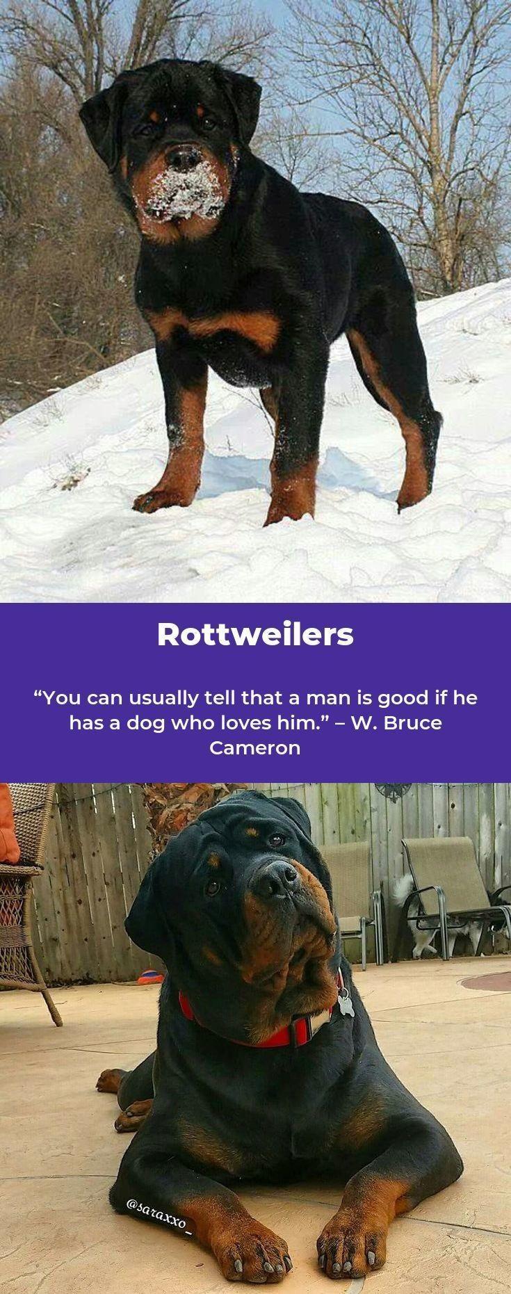 Rottweilers Rottweilerpage Rottweilerofinsta Rottweiler Dog