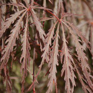 Acer palmatum 39 dissectum 39 nombre popular tipolog a for Arbustos de hoja caduca