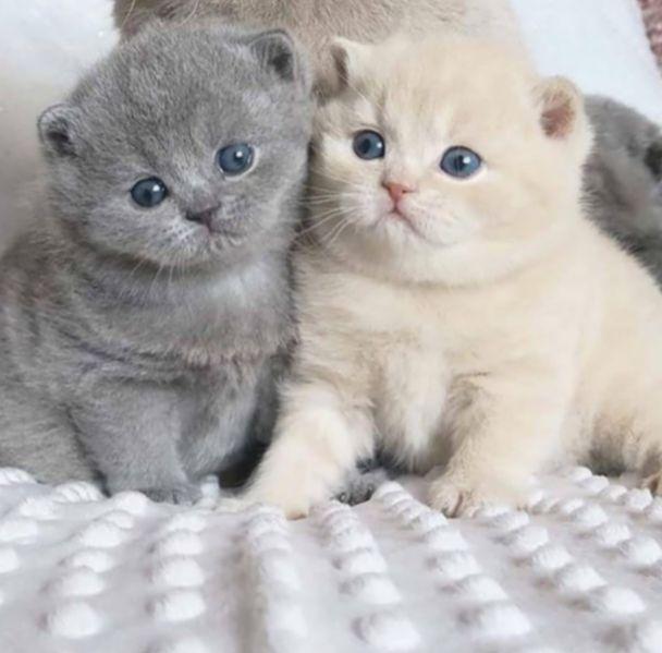 Cute Animals Kittens Scottish Fold Ilhadogovernador Acfotografia Aderitacristina Em 2020 Animais Bebes Mais Fofos Gatinhos Fofos Bichinhos Fofos