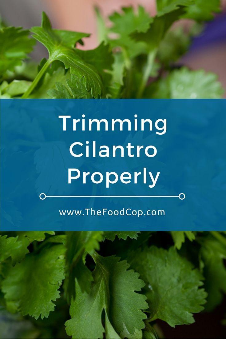 Trimming Cilantro Properly | The Food Cop | Growing Cilantro Outdoors,  Herbs, Cilantro Plant