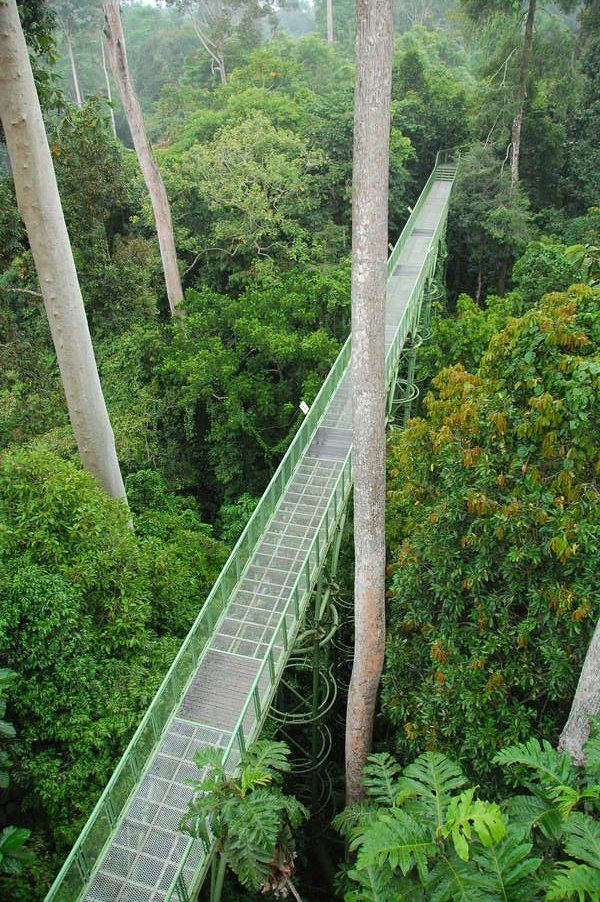 The canopy walk at the Rainforest Discovery Centre in Sabah, Borneo Rainforest, Malaysian Borneo.