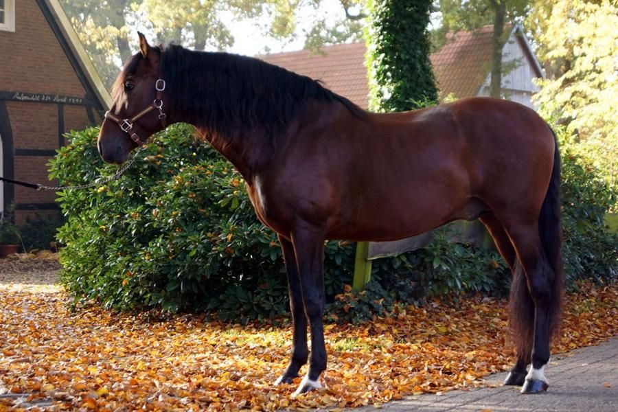We have today more than 120 PRE Horses in our studfarm. Most of them are from our own breed.