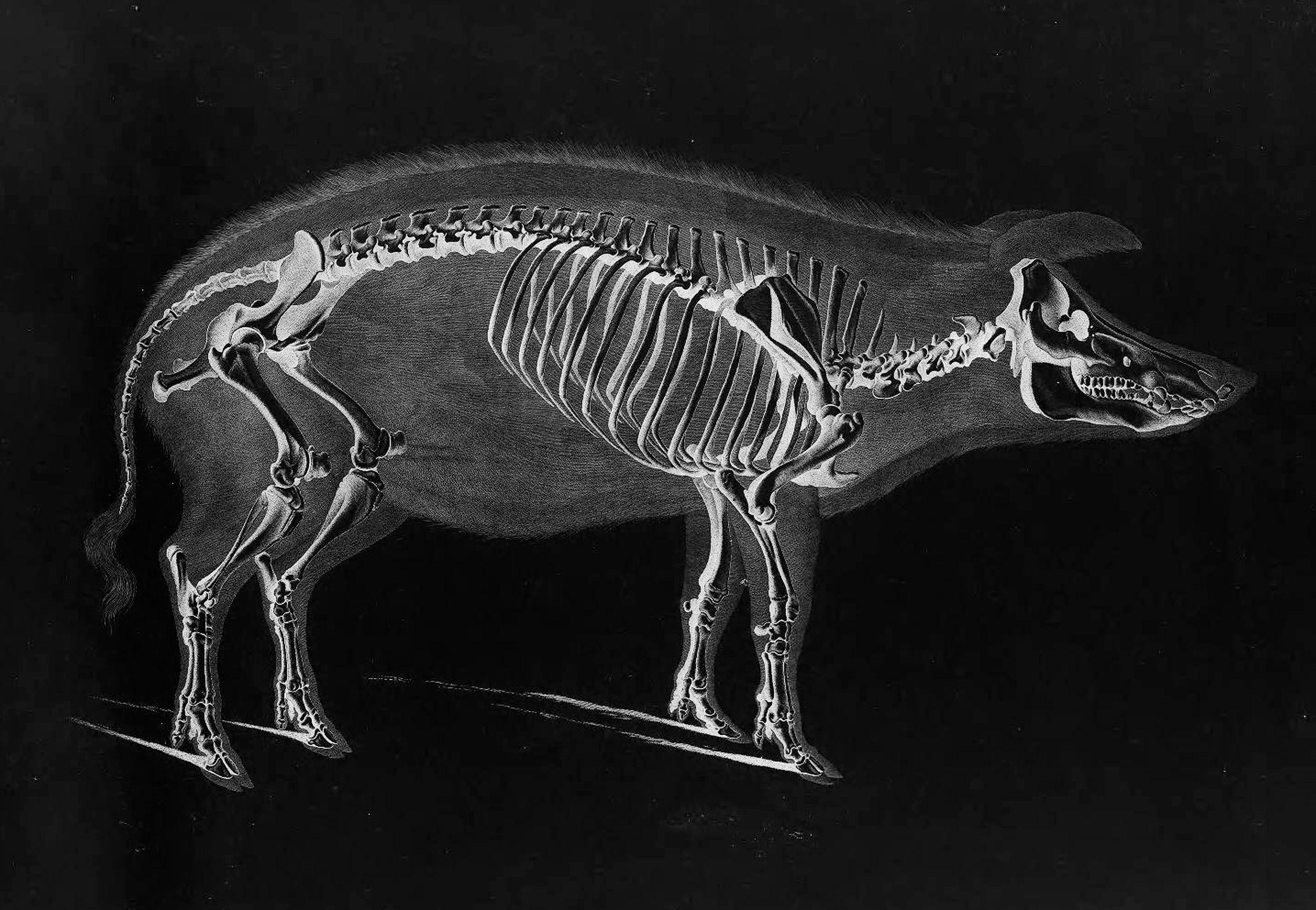 Pig Skeleton by Eduard Joseph D\'Alton circa 1821 | Anml Antmy ...