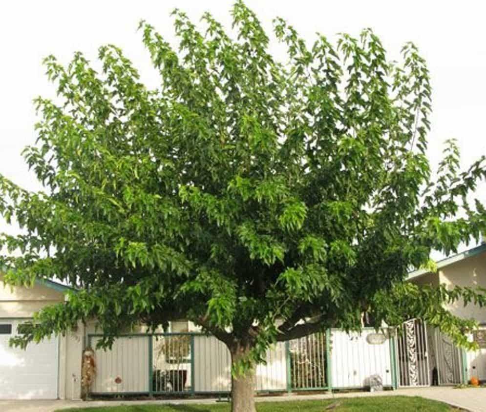 Ausgezeichnete Fruchtlose Maulbeerbaum Baume In Ihrem Garten Dieser Garten Baum Kann Leicht Propagiert Durch St Mulberry Tree Garden Care Shade Trees