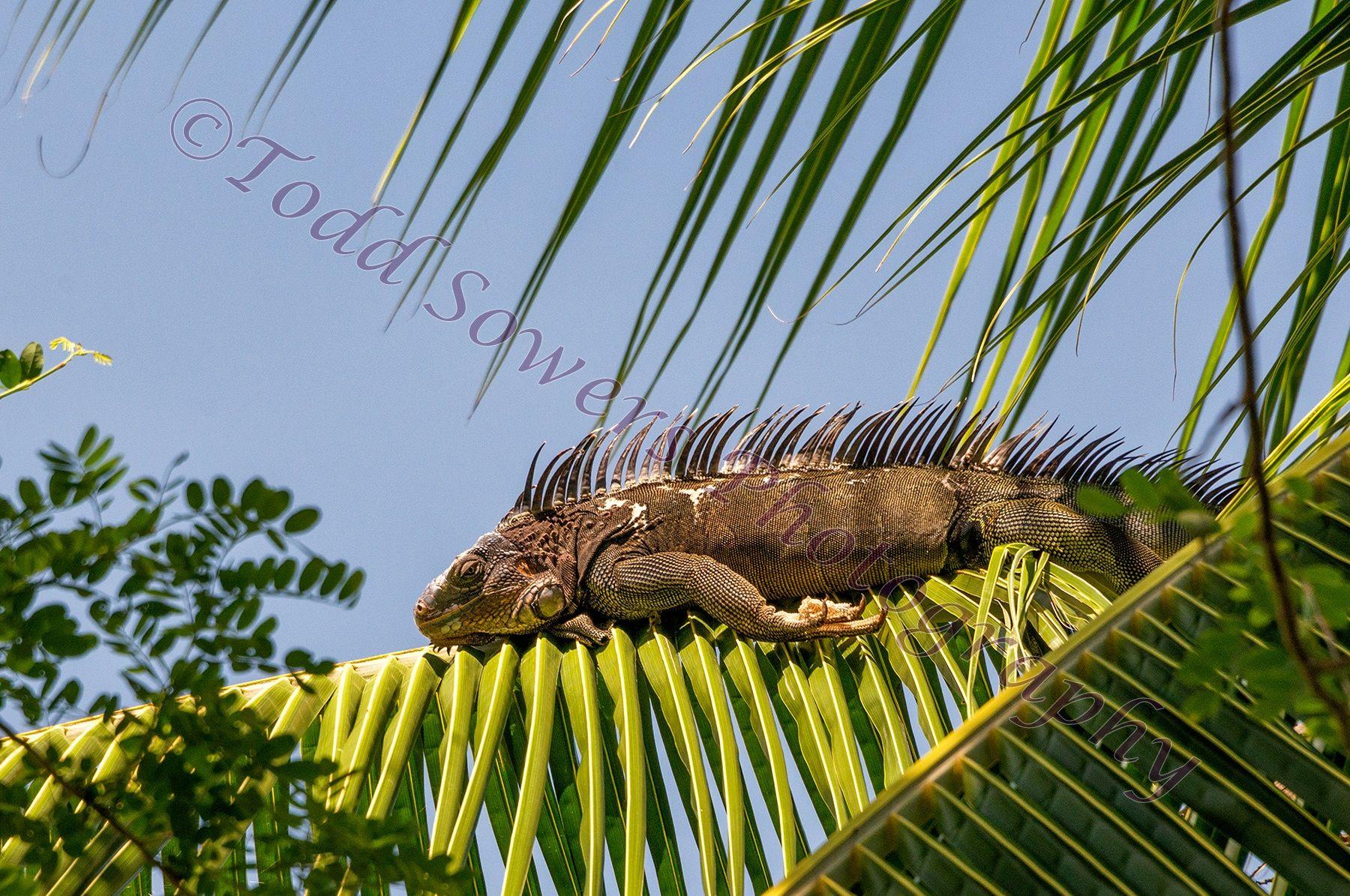 costa-rican-Green-Iguana