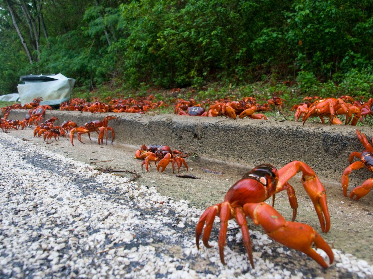 best 25 christmas island crabs ideas on pinterest tourism in