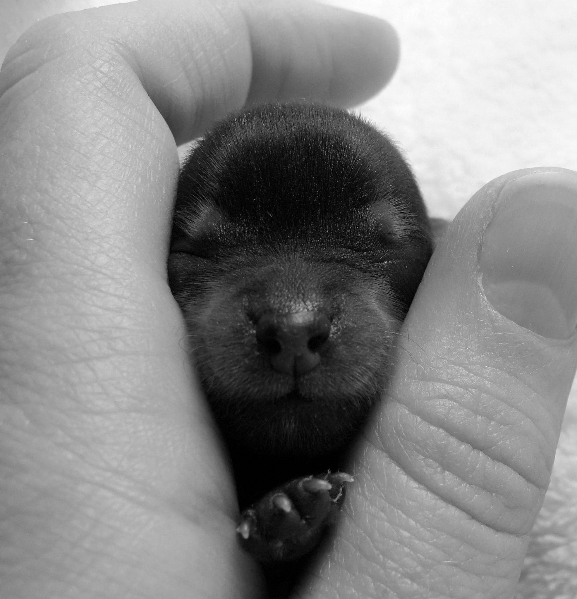Tiny miraclewborn yorkshire terrier puppy sooo cute