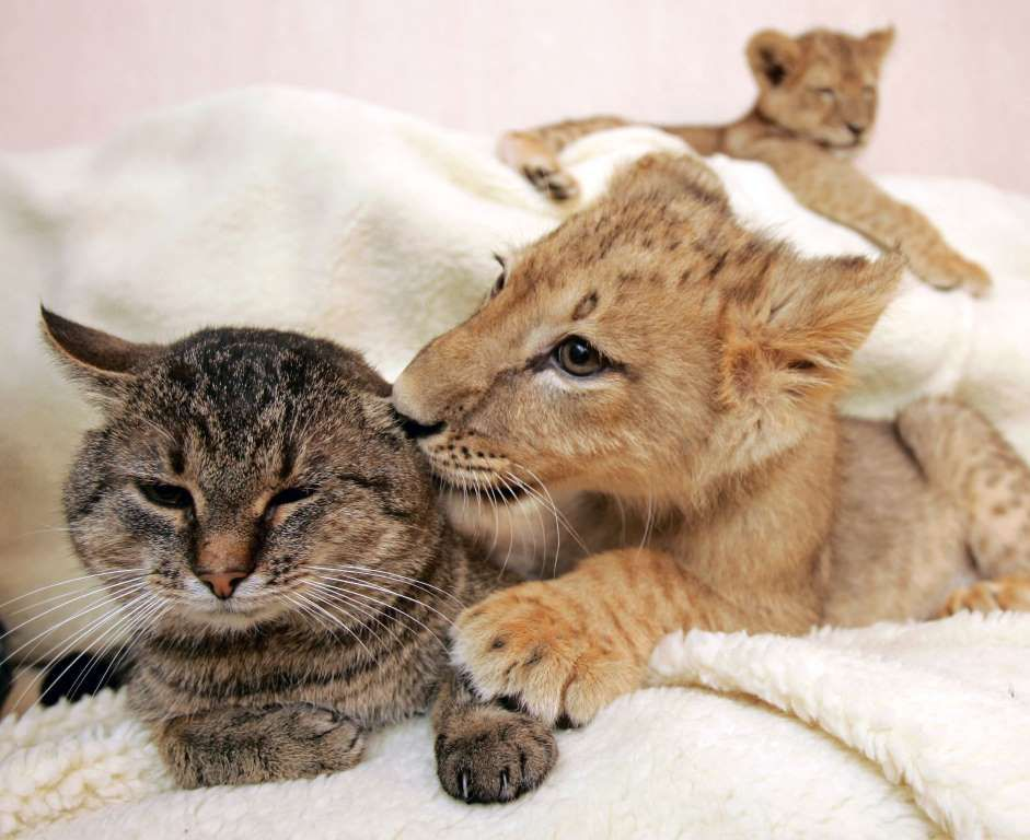 A lion cub caresses a domestic cat as another lion rests in a private house in Kharkov, about 450 km... - REUTERS/Gleb Garanich