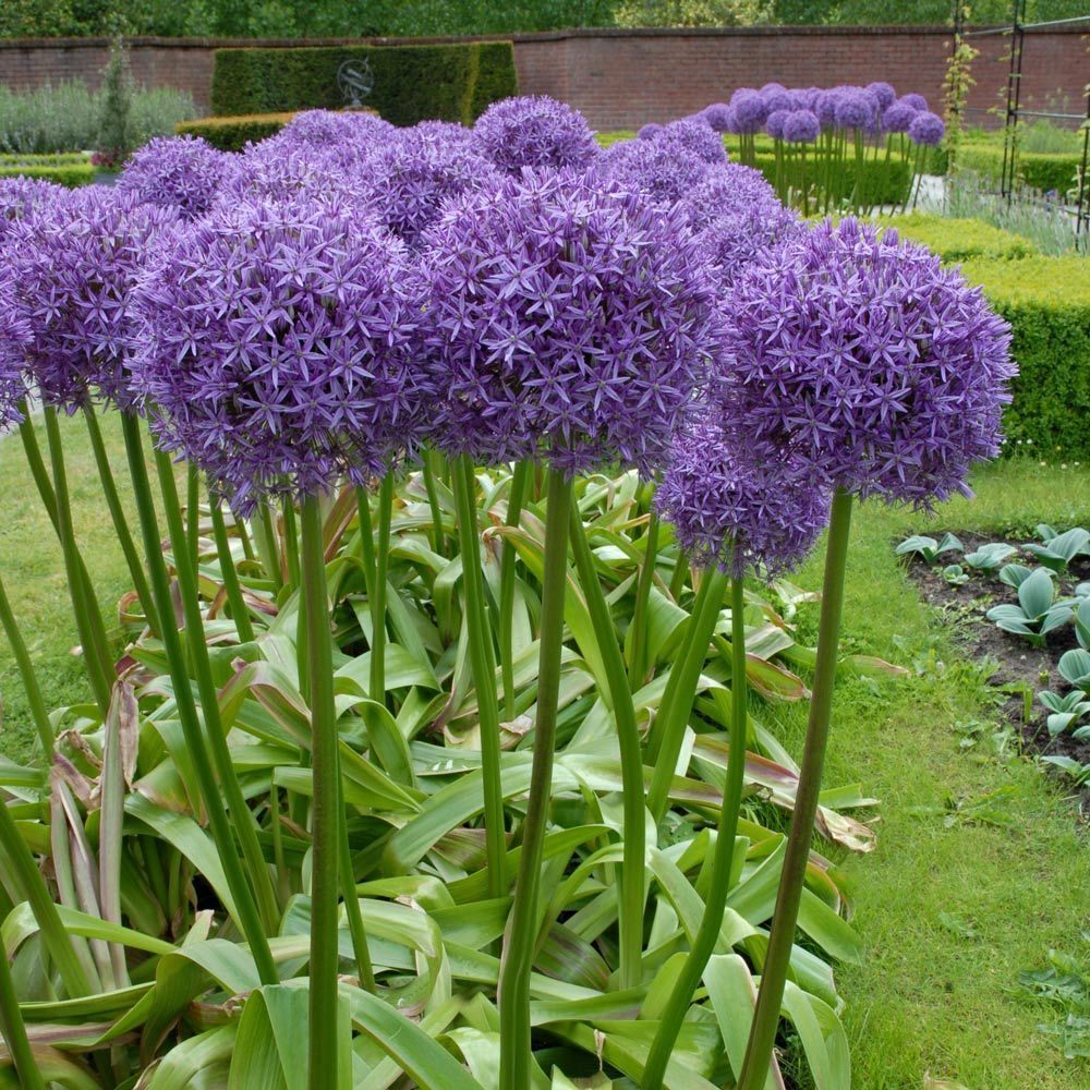 Allium Globemaster In 2020 Flower Garden Plans Purple Garden Garden Design Images