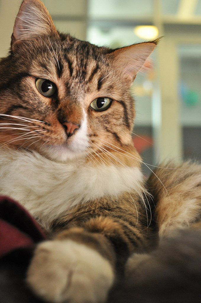 タンブラーでございます! Beautiful cats, Cute cats and kittens, Cats