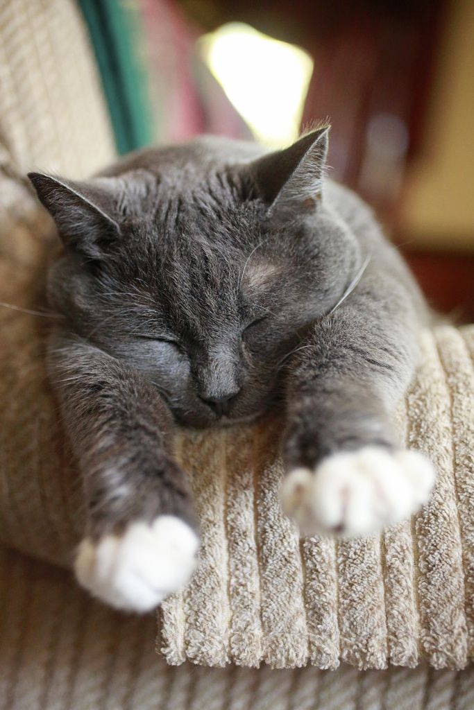 Gray Cat With White Paws : white, Bungalowclassic, Cats,, Sleeping
