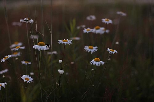daisies by Sarah Ryhanen, via Flickr
