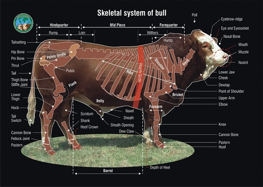 Simmental Cattle Anatomy Diagram - Auto Wiring Diagram Today •