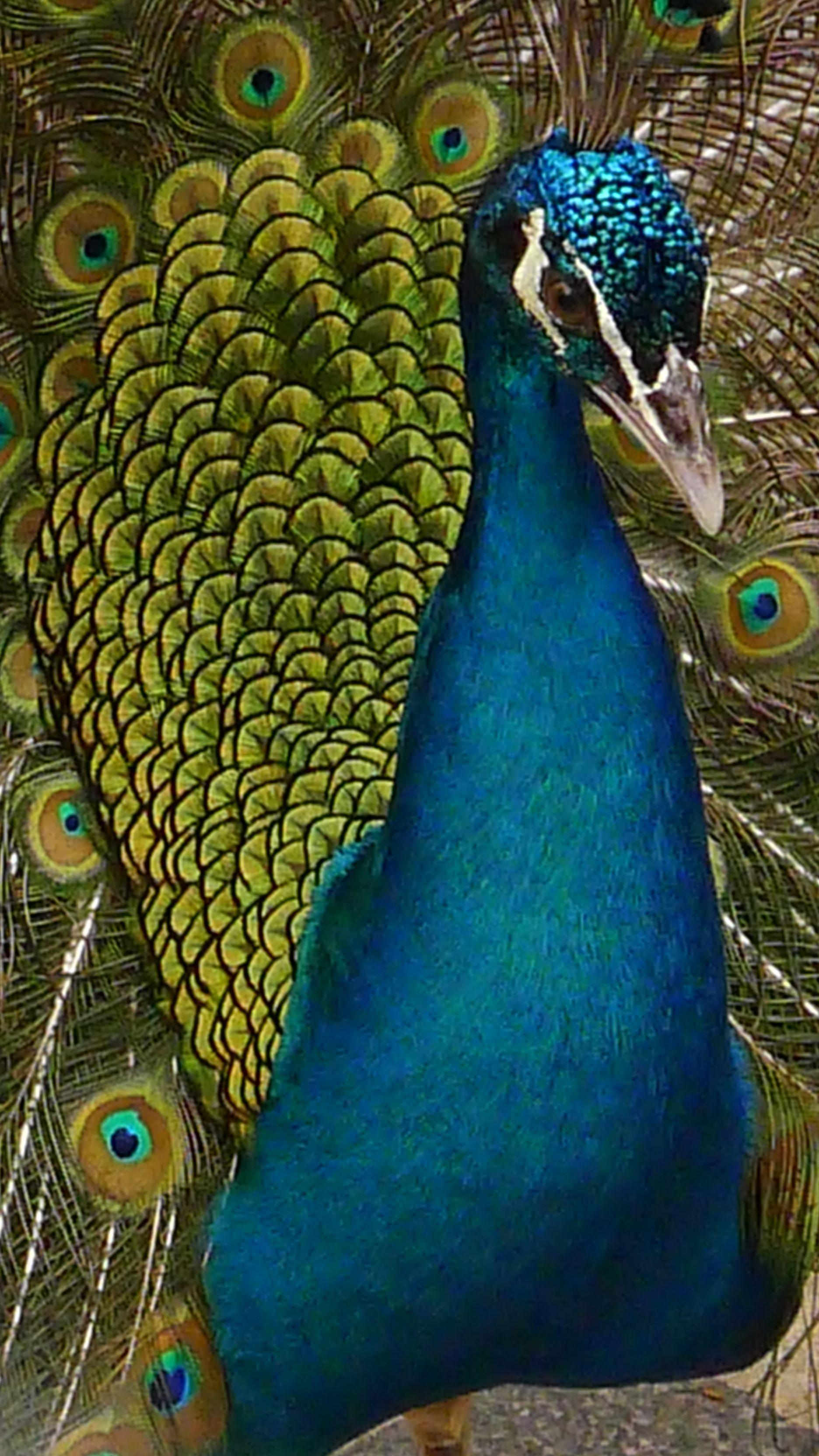 Peacock at the Seac Pai Van Park - Photo Taken by BradJill