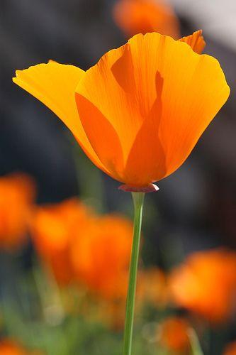 Flowers Iris Bowen Blumen Mohnblume Und Mohn