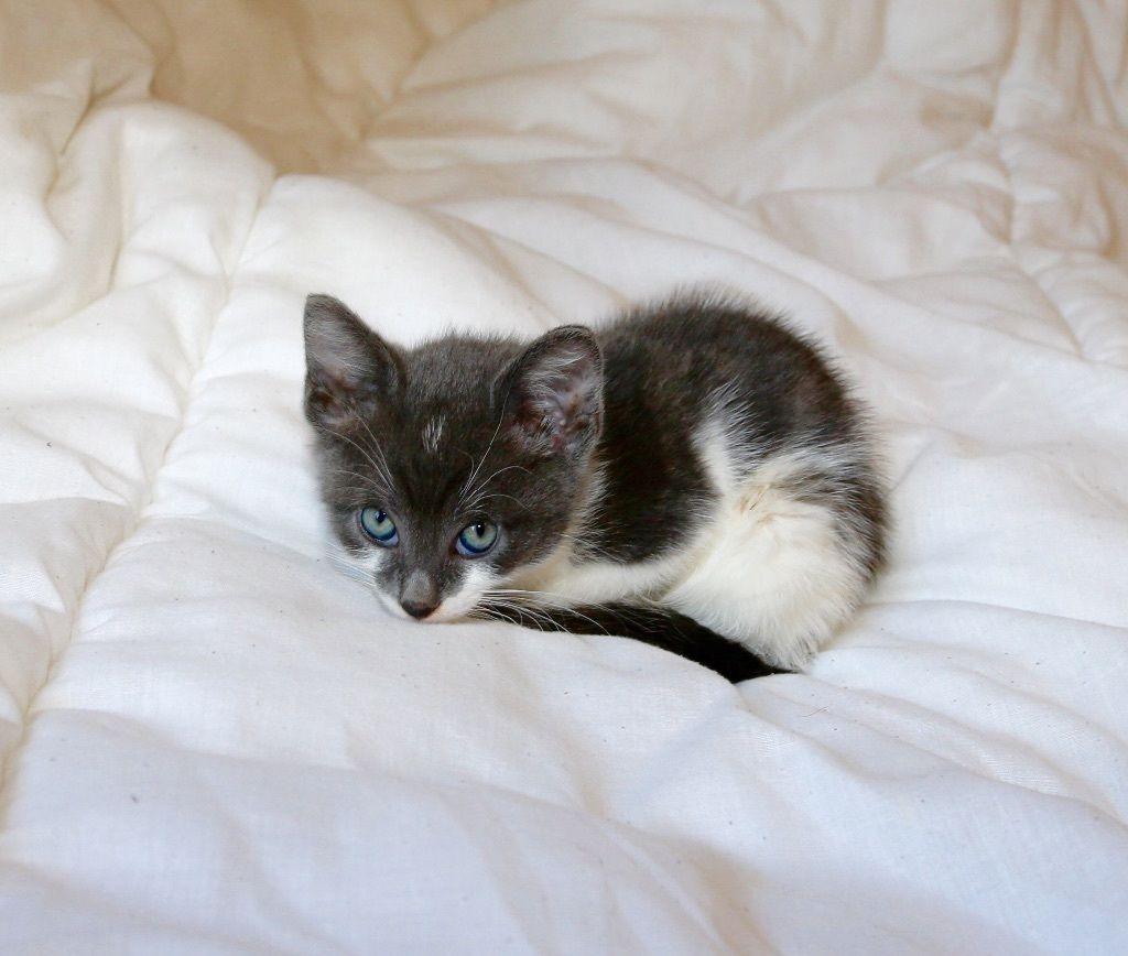 4 Beautiful X Russian Blue Kittens London Gumtree Russian Blue Kitten Russian Blue Kittens