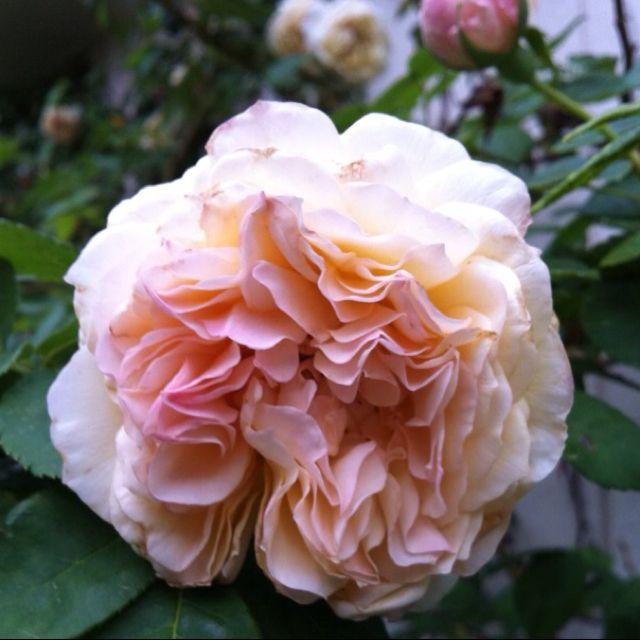 Claire Jacquier, a Noisette rose