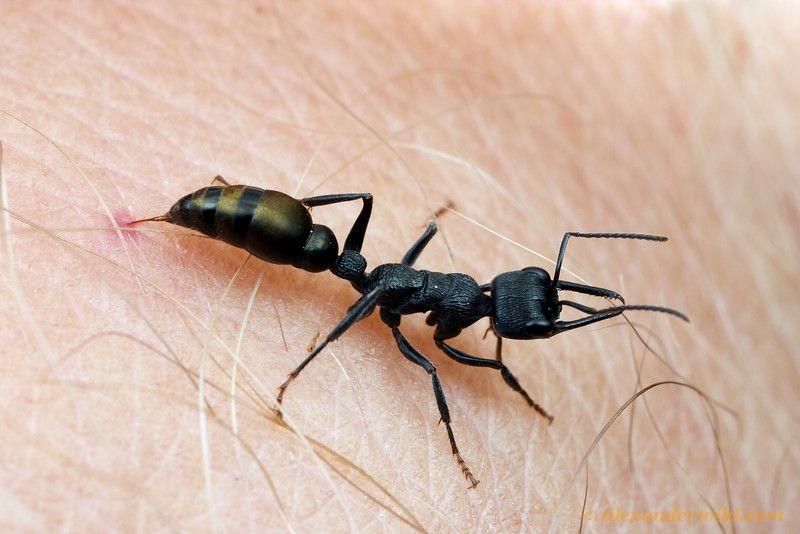 Piqure Toxique Myrmecia Forficata Fourmi D Australie Ants