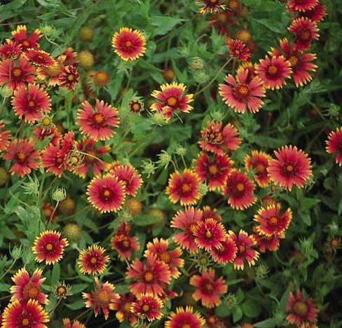 Dwarf Indian Blanket Gaillardia Grandiflora Red Yellow