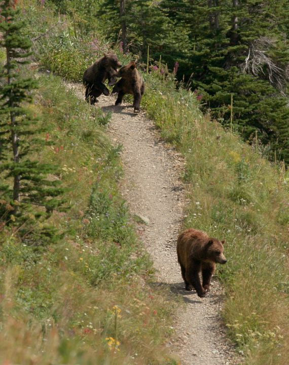 446e1a9fdf8 Grizzlies on the trail at Glacier National Park.