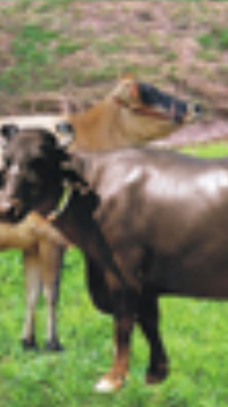 Murrah Buffalo, Jersey | India #3 Cattle Breeds | Horses