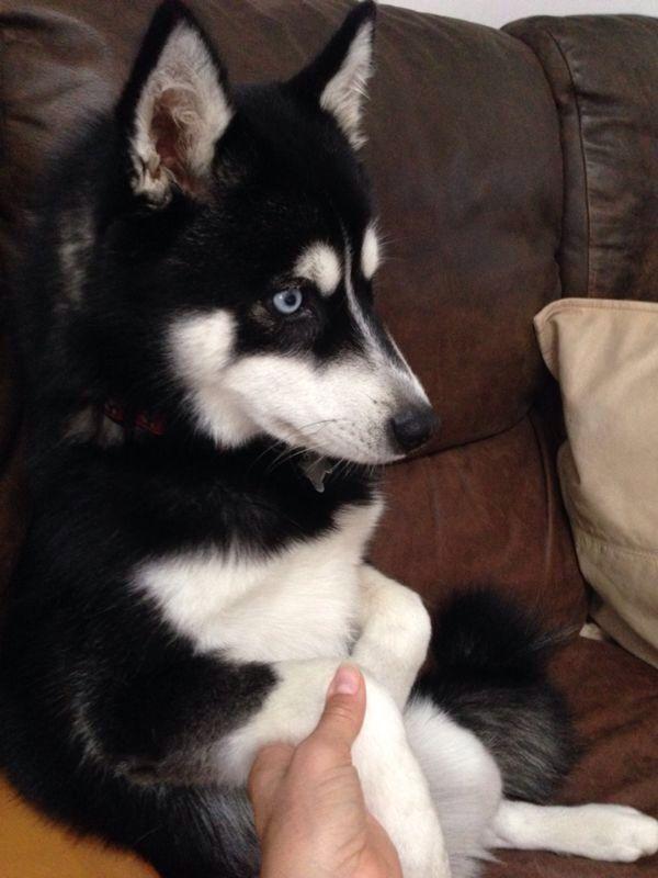 Time To Watch Hawaii 5 O Alaskan Klee Kai Dogs Animals