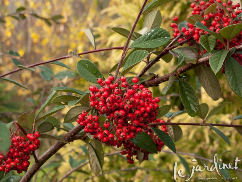 big fat clusters of berries adorn the branches of parney