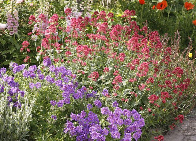 la val riane plante vivace fleurs du jardin d 39 ornement conseils de culture gardening. Black Bedroom Furniture Sets. Home Design Ideas