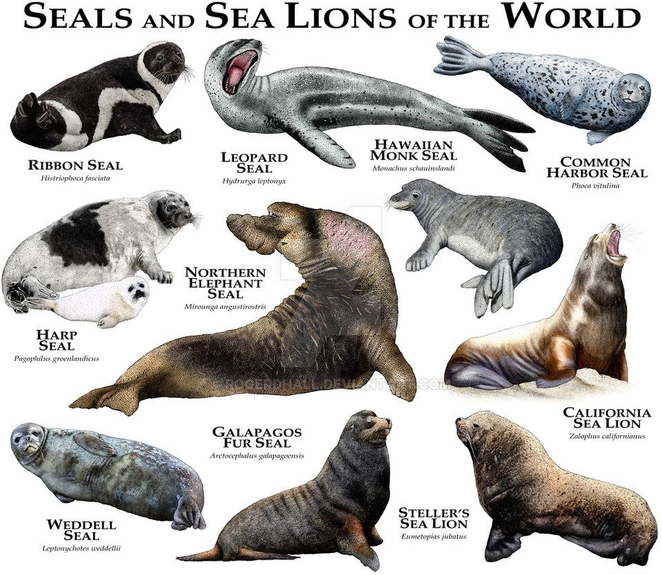 Seals and Sea Lions of the World by rogerdhall | Animal/Bird ID ...