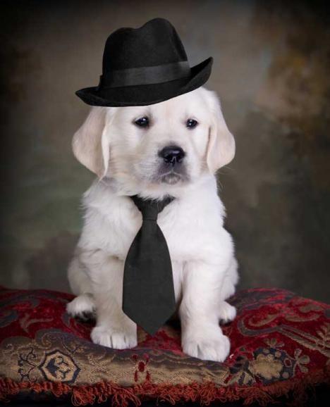 Omg So Cute English Golden Retriever Puppy Golden Retriever