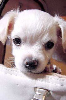 Pin By Deanna K On Peek Chihuahua Breeders Puppies Chihuahua Puppies