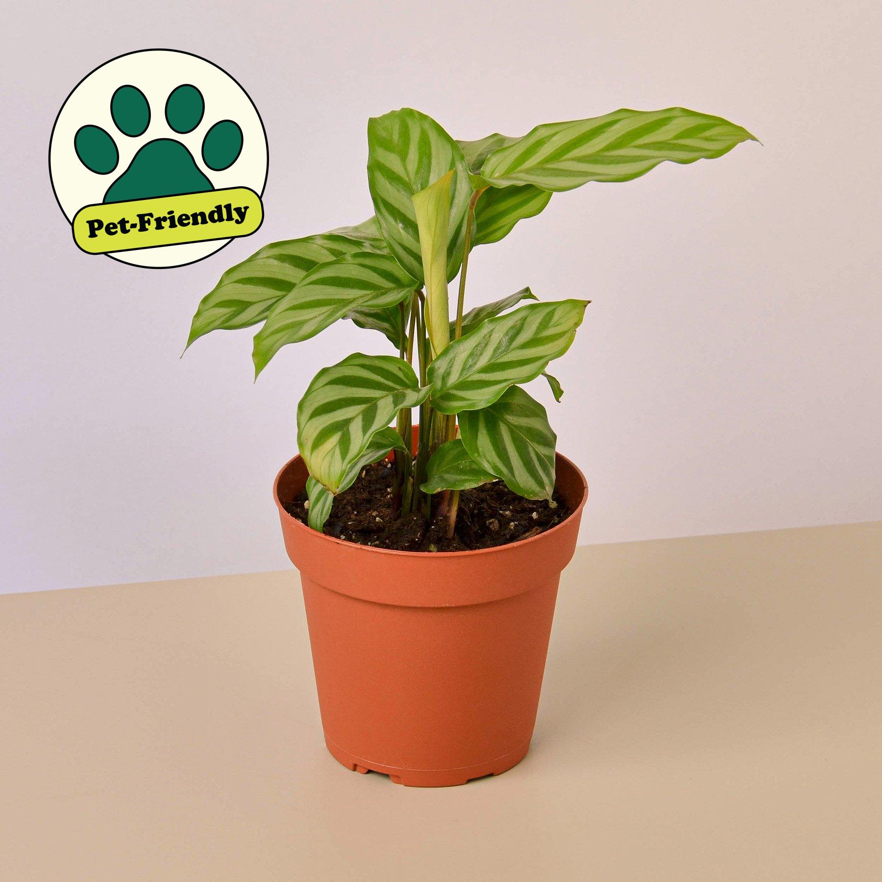 Calathea Concinna Freddie 4 Pot In 2021 Calathea Plant Zebra Plant Calathea