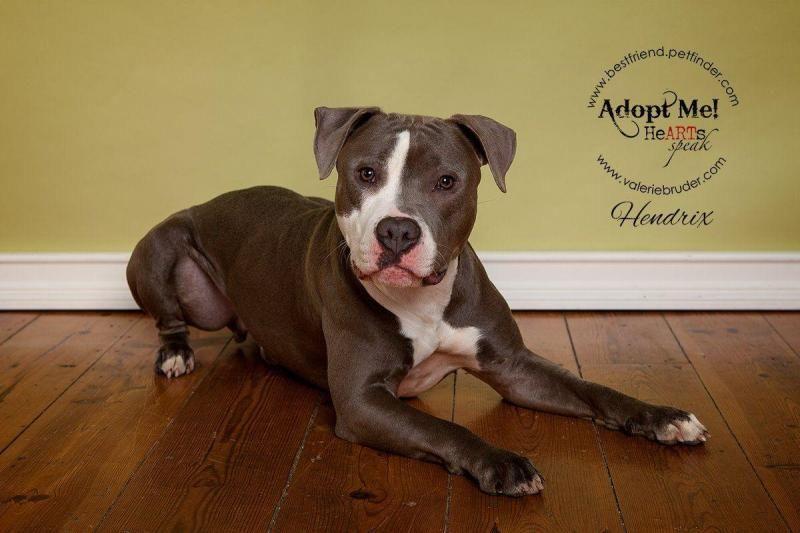 Adopt Hendrix On Pitbull Terrier Bull Terrier Dog Adoption