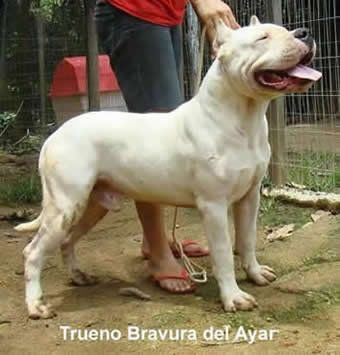 Pin By Animal Universe On Machos Dogo Bravura Del Ayar Dog Argentino Hog Dog Bully Dog