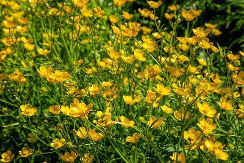 Jaskier Rozlogory W Czasie Kwitnienia Na Zolto Oraz Jego Zastsowanie Lecznicze I Wlasciwosci Plants