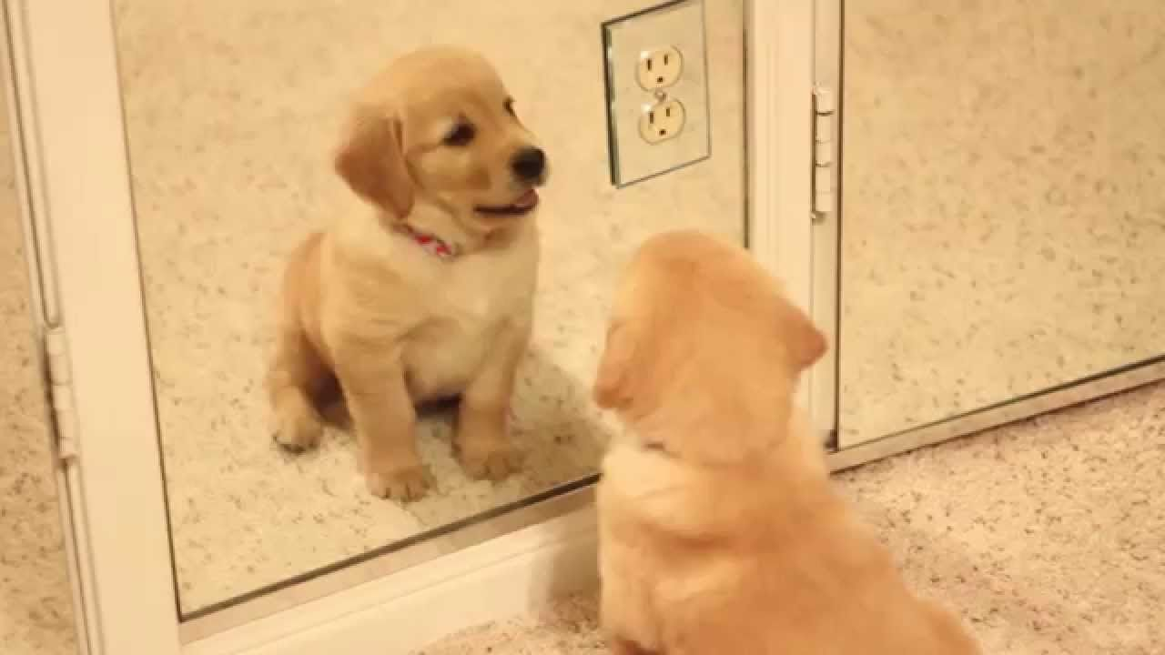 Scout Golden Retriever Puppy Playing In The Mirror Golden
