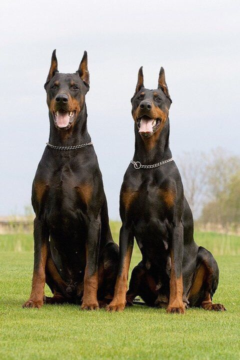 My favorite dogs, very intimidating!