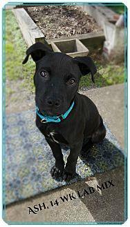 Hixson Tn Labrador Retriever Boxer Mix Meet Ash A Puppy For Adoption Puppy Adoption Pet Adoption Labrador Retriever