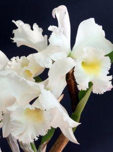 La Orquídea Es La Flor Más Hermosa Del Mundo Orchids Pretty Flowers Flowers