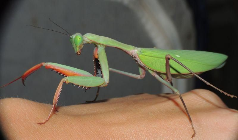 Hierodula Majuscula Giant Australian Rainforest Mantis Rainforest Praying Mantis Largest Butterfly