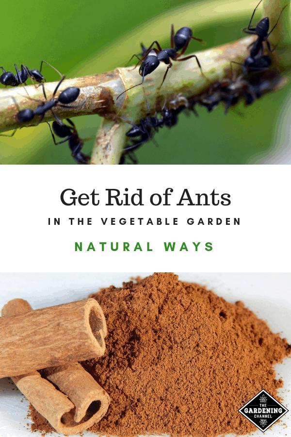 b7c7c86cd68087acf7733b0b0ff62158 - How To Get Rid Of Ants In Vegetable Garden Naturally