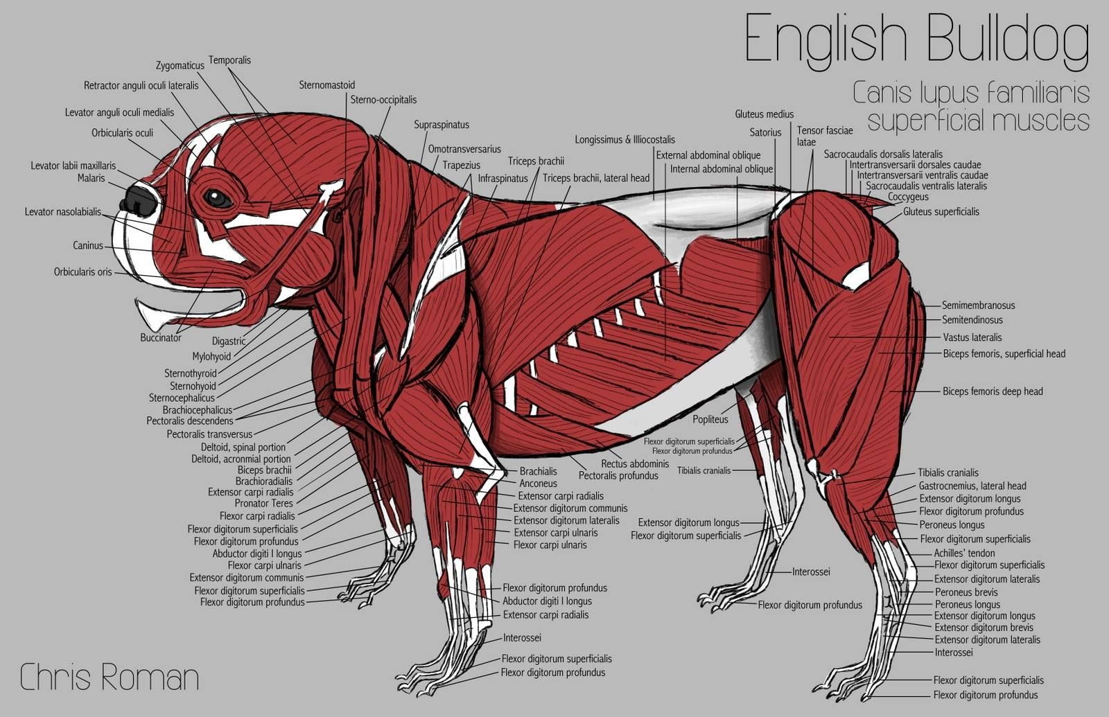 hight resolution of the superficial muscles of the english bulldog