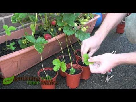 How To Grow And Reproduce Strawberry Plants In Containers By Runner Propagation A Quick Gardening Guide Strawberry Plant Runners Strawberry Plants Strawberry Garden